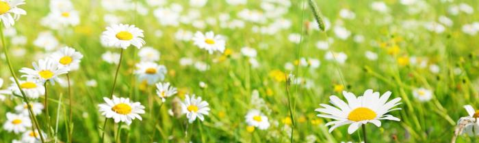 field_of_daisy_flowers-1428073468.jpg
